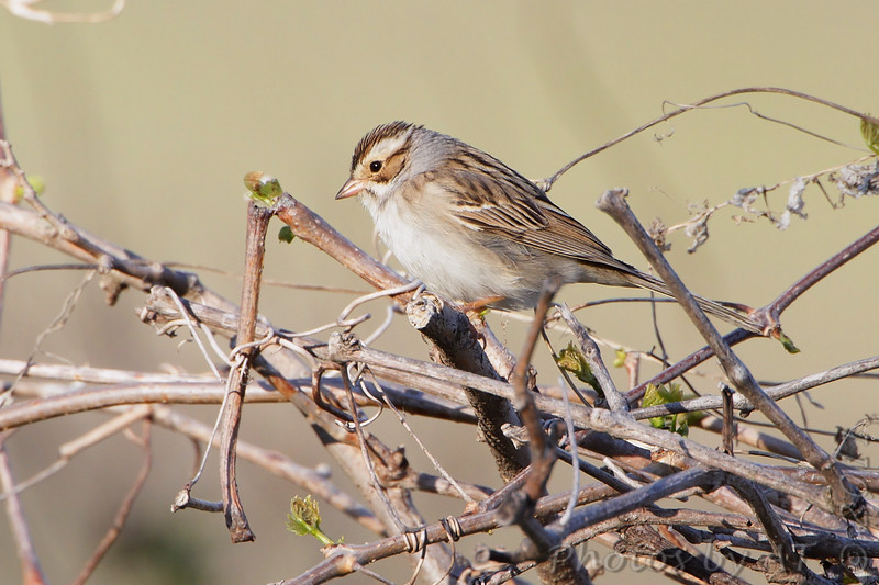 """Sparrows: <span style=""""color:#fff; background:#333;"""">Clay-colored Sparrow</span>  <br><span class=""""showLBtitle"""">                                             </span> Squaw Creek National Wildlife Refuge <br> Holt County, Missouri <br> <a href=""""/Birds/2011-Birding/Birding-2011-May/2011-05-02-Squaw-Creek-NWR/i-PtFmtcx"""">2011-05-02</a> <br> <br> My 1st Missouri photo, species #303 <br> 2011-05-02 17:56:40 <br> <div class=""""noshow"""">See #303 in photo gallery <a href=""""/Birds/2011-Birding/Birding-2011-May/2011-05-02-Squaw-Creek-NWR/i-WfWVjrf"""">here</a></div>"""