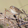 """Sparrows: <span style=""""color:#fff; background:#333;"""">Clay-colored Sparrow</span>  <br> Squaw Creek National Wildlife Refuge <br> Holt County, Missouri <br> <a href=""""/Birds/2011-Birding/Birding-2011-May/2011-05-02-Squaw-Creek-NWR/i-PtFmtcx"""">2011-05-02</a> <br><br> My 1st Missouri photo, species #303 <br> 2011-05-02 17:56:40 <br><div class=""""noshow"""">  See #303 in photo gallery  <a href=""""/Birds/2011-Birding/Birding-2011-May/2011-05-02-Squaw-Creek-NWR/i-WfWVjrf""""> here</a> </div>"""