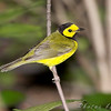 "Wood-Warblers: <span style=""color:#fff; background:#333;"">Hooded Warbler </span> <br><span class=""showLBtitle"">                                                                                         </span> Tower Grove Park <br> St. Louis, Missouri <br> <a href=""/Birds/2009-Birding/Birding-2009-May/2009-05-14-Tower-Grove-Park/i-S8LCs3R"">2009-05-14</a> <br> <br> My 1st Missouri photo, species #241 <br> 2009-05-01 10:09:22 <br> <div class=""noshow"">See #241 in photo gallery <a href=""/Birds/2009-Birding/Birding-2009-May/2009-05-01-Tower-Grove-Park/i-P4stFG6"">here</a></div>"