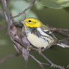 "Wood-Warblers: <span style=""color:#fff; background:#333;"">Black-throated Green Warbler </span> <br><span class=""showLBtitle"">                                                                                         </span> Tower Grove Park<br> St. Louis, Missouri <br> <a href=""/Birds/2008-Birding/Birding-2008-October/2008-10-02-Tower-Grove-park/i-xZ42hNj"">2008-10-02</a> <br> <br> My 1st Missouri photo, species #111 <br> 2006-05-22 11:39:28 <br> <div class=""noshow"">See #111 in photo gallery <a href=""/Birds/2006-Birding/Birding-2006-May/2006-05-22-JS-McDonnell-Park/i-7g2Dhzr"">here</a></div>"