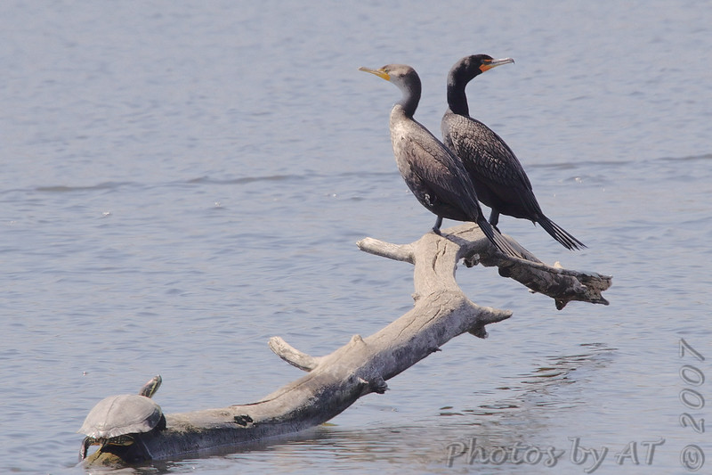 """Shorebirds: <span style=""""color:#fff; background:#333;"""">Double-crested Cormorants </span> <br> Eagle Bluffs Conservation Area <br> Boone County, Missouri <br> <a href=""""/Birds/2007-Birding/Birding-2007-April/2007-04-19-Eagle-Bluffs-and/i-CDTpH6g"""">2007-04-19</a> <br><br> My 1st Missouri photo, species #87 <br> 2006-04-27 10:17:03 <br><div class=""""noshow""""> See #87 in photo gallery  <a href=""""/Birds/2006-Birding/Birding-2006-April/2006-04-27-Riverlands/i-NGGQgc9""""> here</a> </div>"""