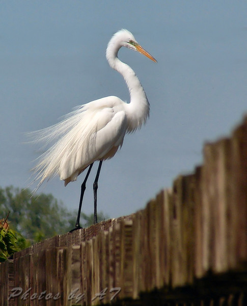 """Marsh Birds: Egrets: <span style=""""color:#fff; background:#333;"""">Great Egret</span>  <br> Creve Couer Lake <br> <a href=""""/Birds/Creve-Coeur-Birds/i-QTW6Hxt"""">2005-04-30</a> <br><br> My 1st Missouri photo, species #25 <br>  2004-06-06 14:29:35  <br><div class=""""noshow""""> See #25 in photo gallery  <a href=""""/Birds/Shore-Birds/i-hBdgSB3""""> here</a> </div>"""