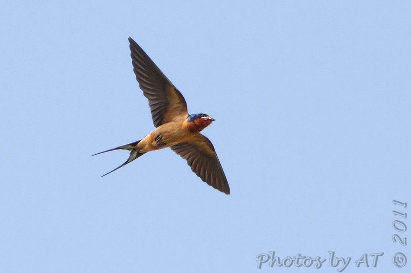 """Swallows: <span style=""""color:#fff; background:#333;"""">Barn Swallow </span> <br> West end of St. Charles Rock Road at levee <br> City of Bridgeton <br> St. Louis County, Missouri <br> <a href=""""/Birds/2011-Birding/Birding-2011-May/2011-05-31-WEKI-Bridgeton-Area/i-LTcd3vG"""">2011-05-31</a> <br><br> My 1st Missouri photo, species #71 <br> 2006-04-09 18:27:13 <br><div class=""""noshow"""">  See #71 in photo gallery  <a href=""""/Birds/2006-Birding/Birding-2006-April/2006-04-09-Creve-Coeur-Marsh/i-mhBPxhZ""""> here</a> </div>"""