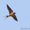 "Swallows: <span style=""color:#fff; background:#333;"">Barn Swallow </span> <br> West end of St. Charles Rock Road at levee <br> Bridgeton, Missouri <br> <a href=""/Birds/2011-Birding/Birding-2011-May/2011-05-31-WEKI-Bridgeton-Area/i-LTcd3vG"">2011-05-31</a> <br><br> My 1st Missouri photo, species #71 <br> 2006-04-09 18:27:13 <br><div class=""noshow"">  See #71 in photo gallery  <a href=""/Birds/2006-Birding/Birding-2006-April/2006-04-09-Creve-Coeur-Marsh/i-mhBPxhZ""> here</a> </div>"