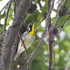"Wood-Warblers: <span style=""color:#fff; background:#333;"">Yellow-throated Warbler </span> <br> Winfield Lock and Dam <br> <a href=""/Birds/2008-Birding/Birding-2008-August/2008-08-28-Hwy-79-Corridor/i-HZNXf4g"">2008-08-28</a> <br><br> My 1st Missouri photo, species #164 <br> 2007-04-24 11:54:35 <br><div class=""noshow"">  See #164 in photo gallery  <a href=""/Birds/2007-Birding/Birding-2007-April/2007-04-24-Rockwoods/i-DtTdLmP""> here</a> </div>"