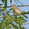 "Vireos: <span style=""color:#fff; background:#333;"">Warbling Vireo </span> <br><span class=""showLBtitle"">                                                                                         </span> Creve Couer Marsh <br> St. Louis County, Missouri <br> <a href=""/Birds/2006-Birding/Birding-2006-May/2006-05-12-Creve-Coeur-Marsh/i-HSDf9LK"">2006-05-12</a> <br> <br> My 1st Missouri photo, species #81 <br> 2006-04-23 17:42:21 <br> <div class=""noshow"">See #81 in photo gallery <a href=""/Birds/Misc-Birds/i-KDxrwvv"">here</a></div>"