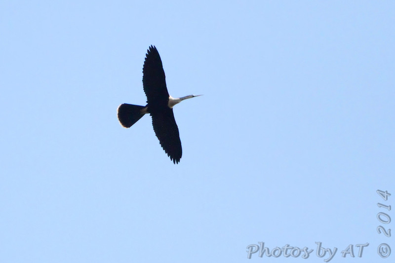 """Shorebirds: <span style=""""color:#fff; background:#333;"""">Anhinga (female) </span> <br><span class=""""showLBtitle"""">                                             </span> Above St. Francis River levee <br> just south of HWY 84 west of Kennett <br> Dunklin County, Missouri <br> <a href=""""/Birds/2014-Birding/Birding-2014-May/2014-05-01-Southeast-Missouri/i-hG49bFP"""">2014-05-01</a> <br> <br> My 1st Missouri photo, species #332 <br>  2014-05-01 09:04:52 <br> <div class=""""noshow"""">See #332 in photo gallery <a href=""""/Birds/2014-Birding/Birding-2014-May/2014-05-01-Southeast-Missouri/i-hG49bFP"""">here</a></div>"""