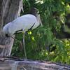 "Marsh Birds: <span style=""color:#fff; background:#333;"">Wood Stork</span> (juvenile)  <br><span class=""showLBtitle"">                                             </span>Swan Lake National Wildlife Refuge <br> Chariton County, Missouri <br> <a href=""/Birds/2012-Birding/Birding-2012-July/2012-07-11-Swan-Lake/i-v7mTkwd"">2012-07-11</a> <br> <br> My 1st Missouri photo, species #317 <br> 2012-07-11 10:37:17 <br> <span style=""color:#fff"">*** 7th state record since the 1930's  ***  <br> <span style=""color:#fff"">***  Earliest summer record  ***</span>  <br> <div class=""noshow"">See #317 in photo gallery <a href=""/Birds/2012-Birding/Birding-2012-July/2012-07-11-Swan-Lake/i-zhtgq6f"">here</a></div></span>"