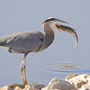 "Marsh Birds: Herons: <span style=""color:#fff; background:#333;"">Great Blue Heron</span>  <br><span class=""showLBtitle"">                                                                                         </span> Riverlands Migratory Bird Sanctuary <br> St. Charles County, Missouri <br> <a href=""/Birds/2006-Birding/Birding-2006-November/2006-11-09-Seeburger-and-Dwyer/i-nkcsRDp"">2006-11-09</a> <br> <br> My 1st Missouri photo, species #24 <br> 2005-04-30 09:34:31 <br> <div class=""noshow"">See #24 in photo gallery <a href=""/Birds/Creve-Coeur-Birds/i-nr8Wxgr"">here</a></div>"
