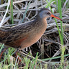 """Marsh Birds: Rallidae's: <span style=""""color:#fff; background:#333;"""">Virginia Rail</span>  <br><span class=""""showLBtitle"""">                                             </span> Heron Pond <br> Riverlands Migratory Bird Sanctuary <br> St. Charles County, Missouri <br> <a href=""""/Birds/2019-Birding/Birding-2019-May/2019-05-01-Riverlands-Migratory-Bird-Sanctuary/i-qG254xz"""">2019-05-01</a> <br> <br> My 1st Missouri photo, species #263 <br> 2009-09-06 17:30:48 <br> <div class=""""noshow"""">See #263 in photo gallery <a href=""""/Birds/2009-Birding/Birding-2009-September/2009-09-06-RMBS/i-vvpRPf8"""">here</a></div>"""