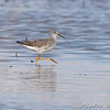 "Mudflats: Sandpipers: <span style=""color:#fff; background:#333;"">Lesser Yellowlegs</span>  <br> B.K. Leach Conservation Area <br>Lincoln County, Missouri <br> <a href=""/Birds/2008-Birding/Birding-2008-August/2008-08-15-BK-Leach/i-g8B9c9q"">2008-08-15</a> <br><br> My 1st Missouri photo, species #84 <br> 2006-04-27 10:27:44 <br><div class=""noshow"">  See #84 in photo gallery  <a href=""/Birds/2006-Birding/Birding-2006-April/2006-04-27-Riverlands/i-7VDnjSf"">here</a> </div>"