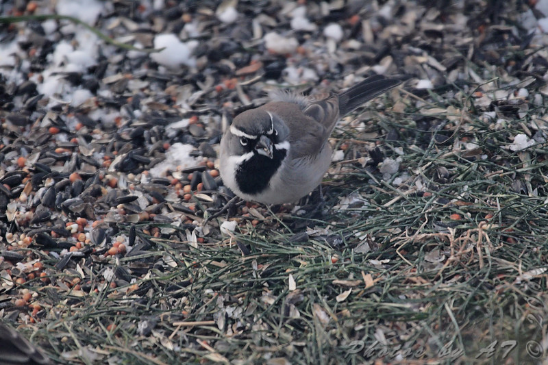 """Sparrows: <span style=""""color:#fff; background:#333;"""">Black-throated Sparrow </span> <br><span class=""""showLBtitle"""">                                             </span> City of Savannah <br> Andrew County, Missouri <br> <a href=""""/Birds/2009-Birding/Birding-2009-December/2009-12-12-Smithville/i-3qVj2w3"""">2009-12-12</a> <br> <br> My 1st Missouri photo, species #275 <br> <span style=""""color:#fff"""">*** Missouri's 2nd state record ***</span> <br> 2009-12-12 07:41:15 <br> <div class=""""noshow"""">See #275 in photo gallery <a href=""""/Birds/2009-Birding/Birding-2009-December/2009-12-12-Smithville/i-cBNzhX4"""">here</a></div>"""