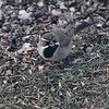 "Sparrows: <span style=""color:#fff; background:#333;"">Black-throated Sparrow </span> <br> Savannah, MO <br> <a href=""/Birds/2009-Birding/Birding-2009-December/2009-12-12-Smithville/i-3qVj2w3"">2009-12-12</a> <br><br> My 1st Missouri photo, species #275 <br><span style=""color:#fff"">*** Missouri's 2nd state record ***</span> <br> 2009-12-12 07:41:15 <br><div class=""noshow"">  See #275 in photo gallery  <a href=""/Birds/2009-Birding/Birding-2009-December/2009-12-12-Smithville/i-cBNzhX4""> here</a> </div>"