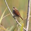 "Sparrows: <span style=""color:#fff; background:#333;"">Swamp Sparrow </span> <br> Riverlands Migratory Bird Sanctuary <br> St. Charles County, Missouri <br> <a href=""/Birds/2009-Birding/Birding-2009-October/2009-10-11-RMBS/i-SQmfMJ2"">2009-10-11</a> <br><br> My 1st Missouri photo, species #50 <br> 2006-02-25 17:21:59 <br><div class=""noshow"">  See #50 in photo gallery  <a href=""/Birds/2006-Birding/Birding-2006-Jan-Feb/2006-02-25-Busch-Wildlife/i-26HKzwk""> here</a> </div>"