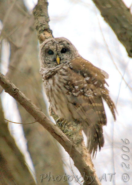 """Owls: <span style=""""color:#fff; background:#333;"""">Barred Owl</span>  <br> Creve Couer Lake <br> St. Louis County, Missouri <br> <a href=""""/Birds/2006-Birding/Birding-2006-November/2006-11-161718-Creve-Coeur/i-CxBzW6g"""">2006-11-18</a> <br><br> My 1st Missouri photo, species #9 <br> 2004-04-17 07:16:35 <br><div class=""""noshow""""> See #9 in photo gallery  <a href=""""/Birds/Misc-Birds/i-kNW6LpW""""> here</a> </div>"""