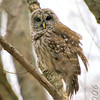"Owls: <span style=""color:#fff; background:#333;"">Barred Owl</span>  <br><span class=""showLBtitle"">                                                                                         </span> Creve Couer Lake <br> St. Louis County, Missouri <br> <a href=""/Birds/2006-Birding/Birding-2006-November/2006-11-161718-Creve-Coeur/i-CxBzW6g"">2006-11-18</a> <br> <br> My 1st Missouri photo, species #9 <br> 2004-04-17 07:16:35 <br> <div class=""noshow"">See #9 in photo gallery <a href=""/Birds/Misc-Birds/i-kNW6LpW"">here</a></div>"