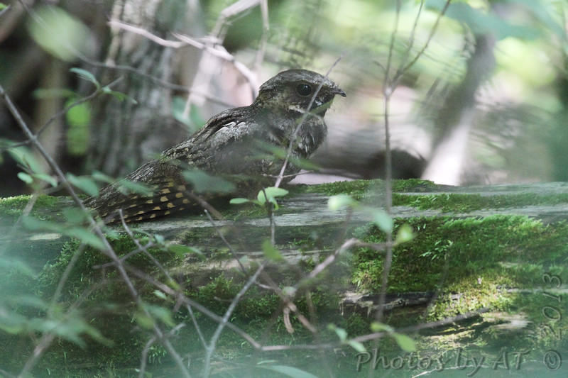 "Nightjars: <span style=""color:#fff; background:#333;"">Whip-poor-will</span>  <br><span class=""showLBtitle"">                                             </span> Warren County, Missouri <br> <a href=""/Birds/2013-Birding/Birding-2013-June/2013-06-24-Nightjar/i-TVgN3nx"">2013-06-24</a> <br> <br> My 1st Missouri photo, species #328 <br> 2013-06-24 15:44:51 <br> <div class=""noshow"">See #328 in photo gallery <a href=""/Birds/2013-Birding/Birding-2013-June/2013-06-24-Nightjar/i-jF848Mr"">Here</a></div>"