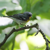 "Wood-Warblers: <span style=""color:#fff; background:#333;"">Northern Parula  </span> <br><span class=""showLBtitle"">                                                                                         </span> Tower Grove Park  <br> St. Louis, Missouri <br> <a href=""/Birds/2010-Birding/Birding-2010-May/2010-05-06-Tower-Grove-Park/i-8dhQFCK"">2010-05-06</a> <br> <br> My 1st Missouri photo, species #166 <br> 2007-04-28 12:48:13 <br> <div class=""noshow"">See #166 in photo gallery <a href=""/Birds/2007-Birding/Birding-2007-April/2007-04-28-Birding-Cuba-Mo/i-FSr8fZx"">here</a></div>"