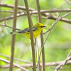 "Wood-Warblers: <span style=""color:#fff; background:#333;"">Blue-winged Warbler </span> <br><span class=""showLBtitle"">                                                                                         </span> Tower Grove Park <br> St. Louis, Missouri <br> <a href=""/Birds/2009-Birding/Birding-2009-April/2009-04-25-Tower-Grove-Park/i-VxRvSK6"">2009-04-25</a> <br> <br> My 1st Missouri photo, species #67 <br> 2006-04-01 10:26:48 <br> <div class=""noshow"">See #67 in photo gallery <a href=""/Birds/2006-Birding/Birding-2006-April/2006-04-01-Busch-Wildlife/i-3WXdDSW"">here</a></div>"