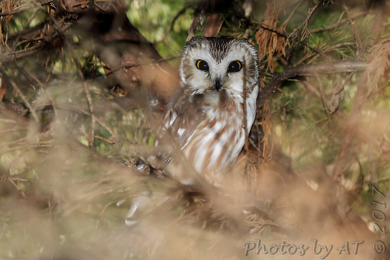 "Owls: <span style=""color:#fff; background:#333;"">Northern Saw‑whet Owl</span>  <br> East of Kirksville <br> Knox County, Missouri <br> <a href=""/Birds/2017-Birding/Birding-2017-January/2017-01-01-Kirksville-Area/i-bXZXx4p"">2017-01-01</a>  <br><br> My 1st Missouri photo, species #347 <br> 2017-01-01 11:07:33 <br><div class=""noshow""> See #347 in photo gallery  <a href=""/Birds/2017-Birding/Birding-2017-January/2017-01-01-Kirksville-Area/i-mBPj3hz""> here</a> </div>"