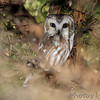 "Owls: <span style=""color:#fff; background:#333;"">Northern Saw‑whet Owl</span>  <br><span class=""showLBtitle"">                                                                                         </span> East of Kirksville <br> Knox County, Missouri <br> <a href=""/Birds/2017-Birding/Birding-2017-January/2017-01-01-Kirksville-Area/i-bXZXx4p"">2017-01-01</a> <br> <br> My 1st Missouri photo, species #347 <br> 2017-01-01 11:07:33 <br> <div class=""noshow"">See #347 in photo gallery <a href=""/Birds/2017-Birding/Birding-2017-January/2017-01-01-Kirksville-Area/i-mBPj3hz"">here</a></div>"
