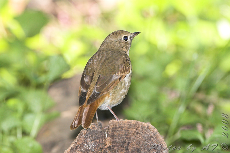 """Thrushes: <span style=""""color:#fff; background:#333;"""">Hermit Thrush </span> <br> Tower Grove Park, St. Louis  <br> <a href=""""/Birds/2008-Birding/Birding-2008-October/2008-10-02-Tower-Grove-park/i-5SbNfTd"""">2008-10-02</a> <br><br> My 1st Missouri photo, species #139 <br> 2006-10-18 16:17:55 <br><div class=""""noshow"""">  See #139 in photo gallery  <a href=""""/Birds/2006-Birding/Birding-2006-October/2006-10-18-St-Stanislaus/i-BTN2xPX""""> here</a> </div>"""