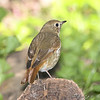 "Thrushes: <span style=""color:#fff; background:#333;"">Hermit Thrush </span> <br> Tower Grove Park, St. Louis  <br> <a href=""/Birds/2008-Birding/Birding-2008-October/2008-10-02-Tower-Grove-park/i-5SbNfTd"">2008-10-02</a> <br><br> My 1st Missouri photo, species #139 <br> 2006-10-18 16:17:55 <br><div class=""noshow"">  See #139 in photo gallery  <a href=""/Birds/2006-Birding/Birding-2006-October/2006-10-18-St-Stanislaus/i-BTN2xPX""> here</a> </div>"