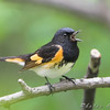 "Wood-Warblers: <span style=""color:#fff; background:#333;"">American Redstart</span> (Male)  <br><span class=""showLBtitle"">                                                                                         </span> Tower Grove Park  <br> St. Louis, Missouri <br> <a href=""/Birds/2008-Birding/Birding-2008-May/2008-05-01-Tower-Grove-Park/i-jJHnnsK"">2008-05-01</a> <br> <br> My 1st Missouri photo, species #132 <br> 2006-09-26 13:09:21 <br> <div class=""noshow"">See #132 in photo gallery <a href=""/Birds/2006-Birding/Birding-2006-September/2006-09-262728-Unger-Park-St/i-2Cd3n92"">here</a></div>"