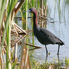 """Marsh Birds: Herons: <span style=""""color:#fff; background:#333;"""">Little Blue Heron</span>  <br><span class=""""showLBtitle"""">                                             </span> Creve Couer Marsh <br> St. Louis County, Missouri <br> <a href=""""/Birds/2006-Birding/Birding-2006-May/2006-05-12-Creve-Coeur-Marsh/i-2Mtkp4L"""">2006-05-12</a> <br> <br> My 1st Missouri photo, species #91 <br> 2006-05-05 11:14:37 <br> <div class=""""noshow"""">See #91 in photo gallery <a href=""""/Birds/2006-Birding/Birding-2006-May/2006-05-05-Creve-Coeur-Lake/i-HdRf2Hn"""">here</a></div>"""