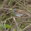 """Sparrows: <span style=""""color:#fff; background:#333;"""">White-throated Sparrow </span> <br> Tower Grove Park <br> St. Louis, Missouri <br> <a href=""""/Birds/2007-Birding/Birding-2007-May/2007-05-01-Tower-Grove-Park/i-khD4hTW"""">2007-05-01</a> <br><br> My 1st Missouri photo, species #5 <br> 2004-02-01 12:29:07 <br><div class=""""noshow"""">  See #5 in photo gallery  <a href=""""/Birds/Sparrows/i-txWKbQ7""""> here</a> </div>"""