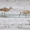 """Mudflats: Sandpipers: <span style=""""color:#fff; background:#333;"""">Whimbrel</span>   <br> Eagle Bluffs Conservation Area  <br> Boone County, Missouri <br> <a href=""""/Birds/2012-Birding/Birding-2012-May/2012-05-20-Eagle-Bluffs-CA/i-r4dkSPj"""">2012-05-20</a> <br><br> My 1st Missouri photo, species #315 <br> 2012-05-20 16:11:54 <br><div class=""""noshow""""> See #315 in photo gallery  <a href=""""/Birds/2012-Birding/Birding-2012-May/2012-05-20-Eagle-Bluffs-CA/i-7ZScNSJ""""> here</a> </div>"""