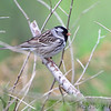 "Sparrows: <span style=""color:#fff; background:#333;"">Harris's Sparrow </span> <br> Burroughs Audubon Library <br> Jackson County, Missouri <br> <a href=""/Birds/2011-Birding/Birding-2011-May/2011-05-01-Burr-Oak-CA-SCNWR/i-BXm9S9Z"">2011-05-01</a> <br><br> My 1st Missouri photo, species #54 <br> 2006-03-01 13:07:19 <br><div class=""noshow""> See #54 in photo gallery  <a href=""/Birds/2006-Birding/Birding-2006-March/2006-03-01-Busch-Wildlife/i-Bnc4qPF""> here</a> </div>"