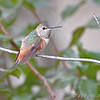 "Hummingbirds: <span style=""color:#fff; background:#333;"">Allen's Hummingbird</span> <br>(Immature male)  <br> Fenton Missouri <br> <a href=""/Birds/2008-Birding/Birding-2008-December/2008-12-04-Screech-Owl-Allens/i-8nrDXT5"">2008-12-04</a> <br><br>  My 1st Missouri photo, species #222 <br><span style=""color:#fff"">*** First Missouri Record ***</span> <br> 2008-11-28 15:06:48<br><div class=""noshow"">  See #222 in photo gallery  <a href=""/Birds/2008-Birding/Birding-2008-November/2008-11-28-Allens-Hummingbird/i-DfQpp69""> here</a> </div>"