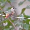 "Hummingbirds: <span style=""color:#fff; background:#333;"">Allen's Hummingbird</span> <br>(Immature male)  <br><span class=""showLBtitle"">                               </span> City of Fenton <br> St. Louis County, Missouri <br> <a href=""/Birds/2008-Birding/Birding-2008-December/2008-12-04-Screech-Owl-Allens/i-8nrDXT5"">2008-12-04</a> <br> Banders measurements and photos <a href=""http://www.hummingbirds.net/alhu.html"" target=""_blank""><u>here</u></a> <br> <br> My 1st Missouri photo, species #222 <br><span style=""color:#fff""> *** First Missouri Record ***</span> <br> 2008-11-28 15:06:48<br><div class=""noshow""> See #222 in photo gallery <a href=""/Birds/2008-Birding/Birding-2008-November/2008-11-28-Allens-Hummingbird/i-DfQpp69"">here</a></div>"