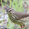 "Wood-Warblers: <span style=""color:#fff; background:#333;"">Northern Waterthrush  </span> <br><span class=""showLBtitle"">                                                                                         </span> Creve Couer Marsh <br> St. Louis County, Missouri <br> <a href=""/Birds/2006-Birding/Birding-2006-May/2006-05-12-Creve-Coeur-Marsh/i-V8VqWDQ"">2006-05-12</a> <br> <br> My 1st Missouri photo, species #97 <br> 2006-05-07 14:11:07 <br> <div class=""noshow"">See #97 in photo gallery <a href=""/Birds/2006-Birding/Birding-2006-May/2006-05-07-Creve-Coeur-Marsh/i-JmBQmL4"">here</a></div>"