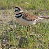 """Mudflats: <span style=""""color:#fff; background:#333;"""">Killdeer</span>  <br><span class=""""showLBtitle"""">                                             </span> Boones Crossing WLA <br> St. Louis County, Missouri <br> <a href=""""/Birds/2006-Birding/Birding-2006-April/2006-04-22-Busch-Wildlife-Area/i-Sg7vSnZ"""">2006-04-22</a> <br> <br> My 1st Missouri photo, species #34 <br> 2005-09-10 09:22:58 <br> <div class=""""noshow"""">See #34 in photo gallery <a href=""""/Birds/2005-Birding/2005-09-10-Busch-Wildlife/i-w8JNjLj"""">here</a></div>"""