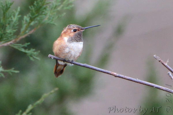 """Hummingbirds: <span style=""""color:#fff; background:#333;"""">Rufous Hummingbird</span>  <br> Franklin County, Missouri <br> <a href=""""/Birds/2011-Birding/Birding-2011-December/2011-12-03-Franklin-County/i-Np2BVSn"""">2011-12-03</a> <br><br>  My 1st Missouri photo, species #309 <br> 2011-12-03 10:43:47<br><div class=""""noshow"""">  See #309 in photo gallery  <a href=""""/Birds/2011-Birding/Birding-2011-December/2011-12-03-Franklin-County/i-Bjh7LJr""""> here</a> </div>"""