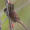 """Sparrows: <span style=""""color:#fff; background:#333;"""">Henslow's Sparrow </span> <br> Weldon Spring Site Interpretive Center Prairie <br> Weldon Spring Conservation Area <br> St. Charles County, Missouri <br> <a href=""""/Birds/2010-Birding/Birding-2010-April/2010-04-22-Weldon-Spring-CA/i-WNvDKHS"""">2010-04-22</a> <br><br> My 1st Missouri photo, species #277 <br> 2010-04-22 10:15:10 <br><div class=""""noshow"""">  See #277 in photo gallery  <a href=""""/Birds/2010-Birding/Birding-2010-April/2010-04-22-Weldon-Spring-CA/i-zv8w9fS""""> here</a> </div>"""