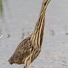 "Marsh Birds: Bitterns: <span style=""color:#fff; background:#333;"">American Bittern</span>  <br> Columbia Bottom Conservation Area <br> <a href=""/Birds/2011-Birding/Birding-2011-April/2011-04-22-Columbia-Bottom-CA/i-2MNhdh2"">2011-04-22</a> <br><br>  My 1st Missouri photo, species #266  <br> 2009-10-03 10:09:44<br><div class=""noshow""> See #266 in photo gallery  <a href=""/Birds/2009-Birding/Birding-2009-October/2009-10-03-BK-Leach-CA/i-6H8G3Kz""> here</a> </div>"