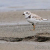 "Mudflats: Plovers: <span style=""color:#fff; background:#333;"">Piping Plover</span>  <br> This bird was banded as an adult 6/18/15 on the Missouri River <br>near Yankton, SD by researchers from Virginia Tech.  <br> Riverlands Migratory Bird Sanctuary <br> <a href=""/Birds/2016-Birding/Birding-2016-September/2016-09-08-RMBS/i-j5F8tSc"">2016-09-08</a> <br><br> My 1st Missouri photo, species #212 <br> 2008-09-01 10:44:24 <br><div class=""noshow"">  See #212 in photo gallery  <a href=""/Birds/2008-Birding/Birding-2008-September/2008-09-01-Hayford-Road/i-85vqfsr""> here</a> </div>"