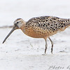 """Mudflats: Dowitchers: <span style=""""color:#fff; background:#333;"""">Short-billed Dowitcher</span>  <br><span class=""""showLBtitle"""">                                             </span> Heron Pond <br> Riverlands Migratory Bird Sanctuary <br> St. Charles County, Missouri <br> <a href=""""/Birds/2009-Birding/Birding-2009-August/2009-08-05-RMBS/i-kzdpZVn"""">2009-08-05</a> <br> <br> My 1st Missouri photo, species #204 <br> 2008-08-15 16:04:59 <br> <div class=""""noshow"""">See #204 in photo gallery <a href=""""/Birds/2008-Birding/Birding-2008-August/2008-08-15-BK-Leach/i-9WC8czv"""">here</a></div>"""
