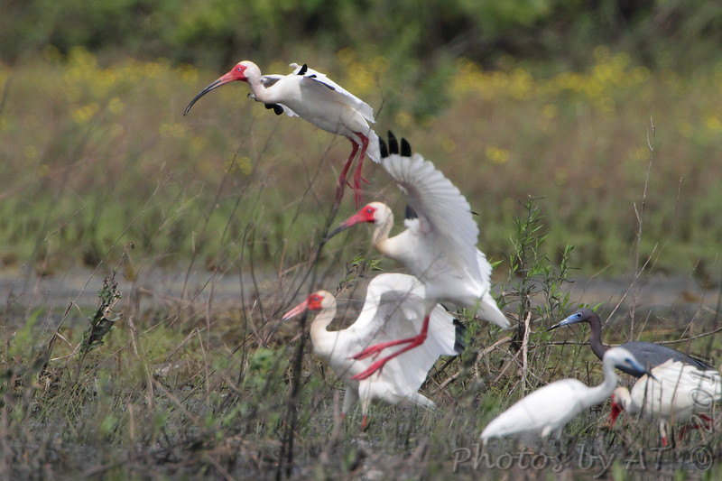 """Marsh Birds: Ibis: <span style=""""color:#fff; background:#333;"""">White Ibis</span> <br><span class=""""showLBtitle"""">                                             </span> and Little Blue Herons <br> Dunklin County, Missouri <br> <a href=""""/Birds/2011-Birding/Birding-2011-May/2011-05-27-28-SE-Mo/i-PWCXDLM"""">2011-05-28</a> <br> <br> My 1st Missouri photo, species #306 <br> 2011-05-28 09:41:18 <br> <div class=""""noshow"""">See #306 in photo gallery <a href=""""/Birds/2011-Birding/Birding-2011-May/2011-05-27-28-SE-Mo/i-5TVbHgZ"""">here</a></div>"""
