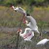 "Marsh Birds: Ibis: <span style=""color:#fff; background:#333;"">White Ibis</span> <br> Dunklin County <br>	 <a href=""/Birds/2011-Birding/Birding-2011-May/2011-05-27-28-SE-Mo/i-PWCXDLM"">2011-05-28</a> <br><br> My 1st Missouri photo, species #306 <br> 2011-05-28 09:41:18 <br><div class=""noshow"">  See #306 in photo gallery  <a href=""/Birds/2011-Birding/Birding-2011-May/2011-05-27-28-SE-Mo/i-5TVbHgZ""> here</a> </div>"