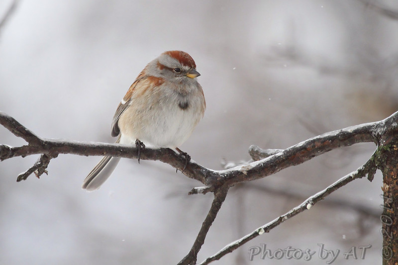 """Sparrows: <span style=""""color:#fff; background:#333;"""">American Tree Sparrow </span> <br><span class=""""showLBtitle"""">                                             </span> City of Bridgeton <br> St. Louis County, Missouri <br> <a href=""""/Birds/2011-Birding/Birding-2011-February/2011-02-Yardbirds/i-82jp9qM"""">2011-02-02</a> <br> <br> My 1st Missouri photo, species #157 <br> 2006-12-19 16:37:33 <br> <div class=""""noshow"""">See #157 in photo gallery <a href=""""/Birds/2006-Birding/Birding-2006-December/2006-12-18-19-Busch-Wildlife/i-T6ww3h3"""">here</a></div>"""