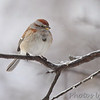 "Sparrows: <span style=""color:#fff; background:#333;"">American Tree Sparrow </span> <br> Bridgeton Missouri <br> <a href=""/Birds/2011-Birding/Birding-2011-February/2011-02-Yardbirds/i-82jp9qM"">2011-02-02</a> <br><br> My 1st Missouri photo, species #157 <br> 2006-12-19 16:37:33 <br><div class=""noshow""> See #157 in photo gallery  <a href=""/Birds/2006-Birding/Birding-2006-December/2006-12-18-19-Busch-Wildlife/i-T6ww3h3""> here</a> </div>"