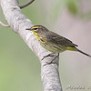 "Wood-Warblers: <span style=""color:#fff; background:#333;"">Palm Warbler</span>  <br><span class=""showLBtitle"">                                                                                         </span> Bridgeton Riverwoods Park and Trail <br> City of Bridgeton <br> St. Louis County, Missouri <br> <a href=""/Birds/2008-Birding/Birding-2008-April/2008-04-30-Bridgeton-Trail/i-DGj35Dp"">2008-04-30</a> <br> <br> My 1st Missouri photo, species #88 <br> 2006-04-27 13:17:10 <div class=""noshow""> See #88 in photo gallery <a href=""/Birds/2006-Birding/Birding-2006-April/2006-04-27-Riverlands/i-c33FtPk"">here</a></div>"
