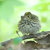 "Wood-Warblers: <span style=""color:#fff; background:#333;"">Ovenbird </span> <br><span class=""showLBtitle"">                                                                                         </span> Tower Grove Park <br> St. Louis, Missouri <br> <a href=""/Birds/2008-Birding/Birding-2008-May/2008-05-01-Tower-Grove-Park/i-9p4CMpk"">2008-05-01</a> <br> <br> My 1st Missouri photo, species #169 <br> 2007-05-01 13:34:55 <br> <div class=""noshow"">See #169 in photo gallery <a href=""/Birds/2007-Birding/Birding-2007-May/2007-05-01-Tower-Grove-Park/i-Jj49Qfc"">here</a></div>"