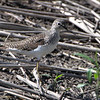 """Mudflats: Sandpipers: <span style=""""color:#fff; background:#333;"""">Solitary Sandpiper</span>  <br> Dalbow Road St. Charles County <br> St. Charles County, Missouri <br> <a href=""""/Birds/2010-Birding/Birding-2010-May/2010-05-03-Dalbow-Road/i-7zcrkC5"""">2010-05-03</a> <br><br> My 1st Missouri photo, species #35 <br> 2005-09-10 09:11:18 <br><div class=""""noshow"""">  See #35 in photo gallery  <a href=""""/Birds/2005-Birding/2005-09-10-Busch-Wildlife/i-qRqwfnx""""> here</a> </div>"""