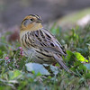 "Sparrows: <span style=""color:#fff; background:#333;"">LeConte's Sparrow </span> <br><span class=""showLBtitle"">                                                                                         </span> Tower Grove Park <br> St. Louis, Missouri <br> <a href=""/Birds/2010-Birding/Birding-2010-October/2010-10-14-Tower-Grove-Park/i-hdCCgWd"">2010-10-14</a> <br> <br> My 1st Missouri photo, species #291 <br> 2010-10-14 13:00:56 <br> <div class=""noshow"">See #291 in photo gallery <a href=""/Birds/2010-Birding/Birding-2010-October/2010-10-14-Tower-Grove-Park/i-TQPzCWx"">here</a></div>"