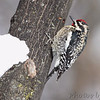 "Woodpeckers: <span style=""color:#fff; background:#333;"">Yellow-bellied Sapsucker </span> <br> Bridgeton, Missouri <br>	 <a href=""/Birds/2011-Birding/Birding-2011-January/2011-01-Yardbirds/i-zmRtXZj"">2011-01-21</a> <br><br> My 1st Missouri photo, species #65 <br> 2006-03-26 16:37:38 <br><div class=""noshow"">  See #65 in photo gallery  <a href=""/Birds/2006-Birding/Birding-2006-March/2006-03-26-Shaw-Nature-Reserve/i-Bwn7W2t""> here</a> </div>"